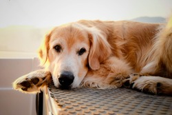 Old dog Golden Retriever relax on boat