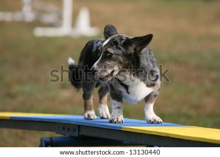 Old Dog on Agility Ramp with Indesicive Look on his Face