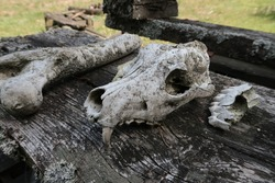Old dog skull on a wooden table