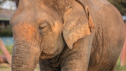 Old elephant in the forest. Closeup front of Asian elephants face