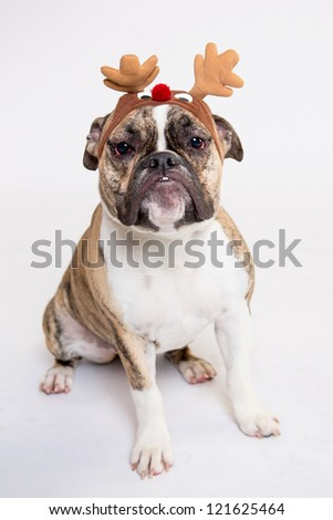 Old English Bulldog isolated on white