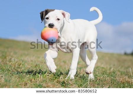 old english bulldog whelp 3 months original race Alte englische Bulldogge Bullenbeisser alte englische Bulldogge