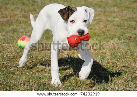 old english bulldog whelp 3 months playing with toy cat original race alte englische Bulldogge