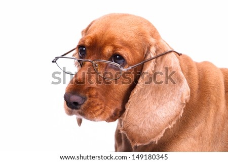 Old English cocker spaniel dog looking behind glasses, isolated on white background.