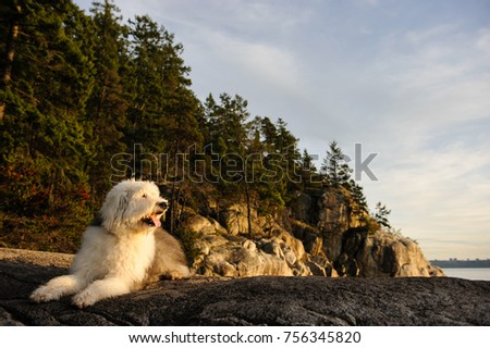 Old English Sheepdog outdoor portrait lying down on cliff
