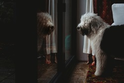Old English Sheepdog puppy dog looking at reflection in glass door
