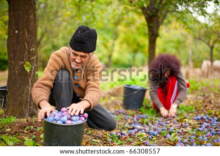 Old farmer and his daughter in background picking plums in an orchard - stock photo