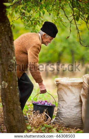 Old farmer carrying a bucket full of plums in an orchard