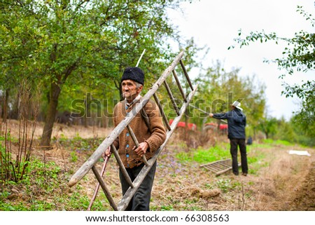 Old farmer carrying a wooden ladder in a plum trees orchard