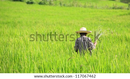 Old Farmer harvesting paddy rice in Chiang Mai, Thailand