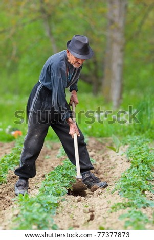 Old farmer with hat weeding through a potato field #77377873
