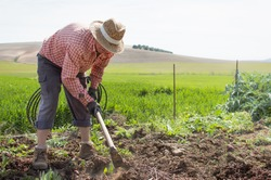 Old farmer with work clothes using a hoe to remove weed from an orchard in the countryside. Man cleans soil in wheat field.