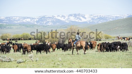 Old Fashioned Cattle Drive in Colorado