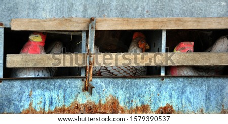 Old fashioned rustic chicken coup has three hens pretending to lay eggs.  Coup is constructed of metal with wooden slats.
