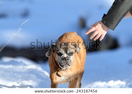 old female boxer dog running towards human hand on winter day
