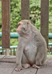 Old female Monkey looks around and sits on the floor. her hand is putting on the floor.