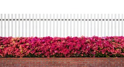 old fence wood and varicoloured bougainvillea paper flowers isolated on white background