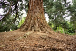 Old fir tree roots example