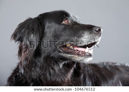Old flatcoated retriever dog isolated on grey background. Studio shot.