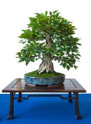 Old foliage tree korean hornbeam (Carpinus turczaninowii) as bonsai