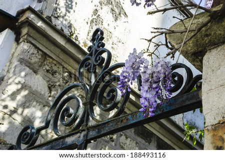 Old forging gate with ornament (entry to abandoned manor)  and stone brick wall overgrown with blooming Wisteria flowers . Light and shadow.