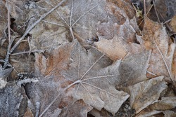 old frozen Leafs in the Forest