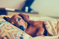 Old funny dog lies on a pillow under a blanket, thinking about something important.