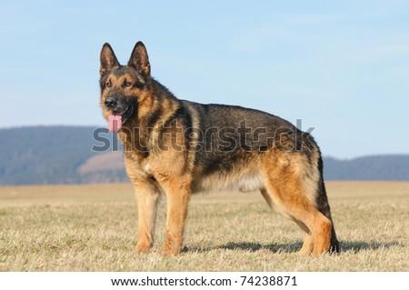 Old German Sheepdog With Grey