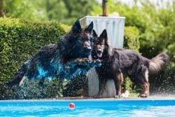 old German shepherd dog jumps in a swimming-pool
