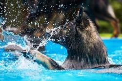 old German shepherd dog swims in a swimming-pool