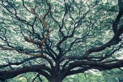 Old giant rain tree in old tone