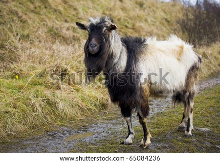 Old goat at road