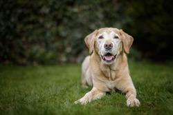Old Golden Labrador Dog Lies in Green Garden