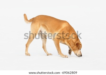 old  Golden Labrador Retriever walks and sniffs on snow outdoor   of the white background