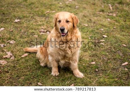 old golden retriever dog autumn portrait #789217813