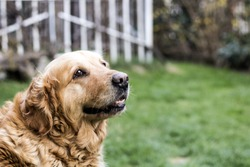 old golden retriever dog in garden