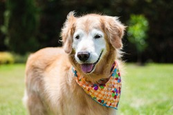Old Golden Retriever dog in the park playing. Looking happy and smiling.