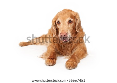 Retriever Dog Laying Down