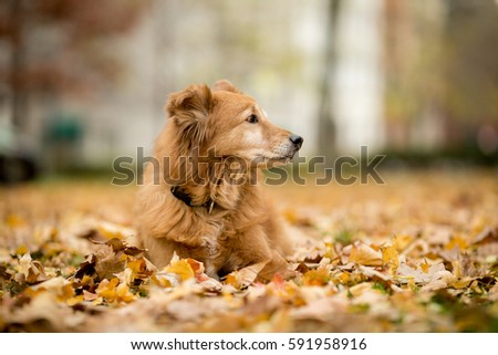 Old Golden Retriever laying in the autumn leaves. #591958916
