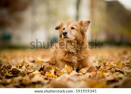 Old Golden Retriever laying in the autumn leaves. #591959345