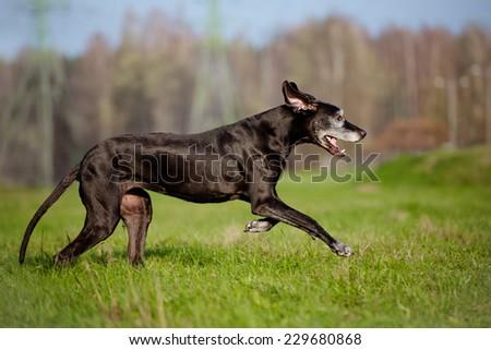 old great dane dog
