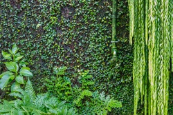 Old green watering faucet on the wall overgrown with green ivy and creeper, garden green background. Wet green plants
