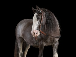 Old grey horse with curly long mane in studio-set with black background