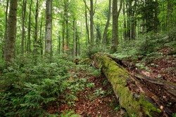 Old-growth forest with rotting trunk covered with green moss and young trees growing around. Unspoiled nature scenery in summer inside Stuzica area, Poloniny national park, Slovakia.