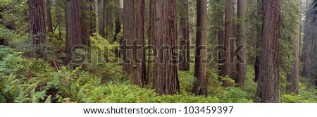 Old-growth redwoods at Jedediah Smith Redwood State Park, California