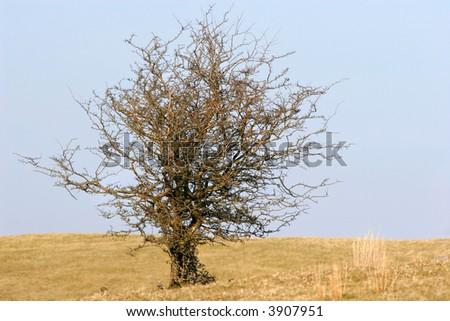 Hawthorn Tree Leaves Old Hawthorn Tree Devoid of