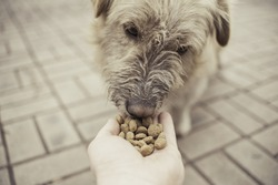 Old homeless dog eat dry food on the palms