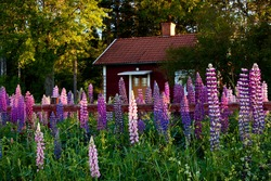 Old idyllic swedish cottage with flower in the foreground.