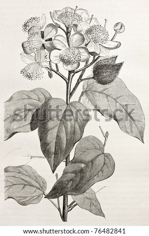 Old illustration of Achiote (Bixa Orellana), the source of natural pigment annatto, produced from the fruit. Created by Rouyer, after watercolour of  Marcoy, published on Le Tour du Monde, Paris, 1864