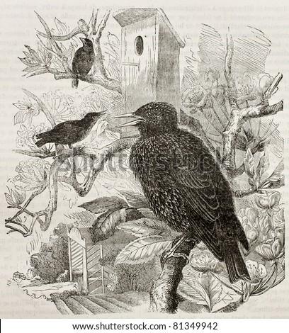 Old illustration of Common Starling (Sturnus vulgaris). Created by Kretschmer and Jahrmargt, published on Merveilles de la Nature, Bailliere et fils, Paris, 1878